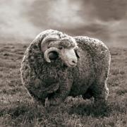 Merinowol wordt gezien als de beste wol ter wereld
